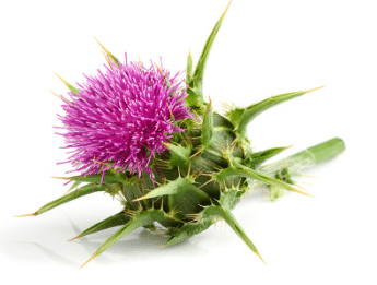 Chardon-Marie plante bio